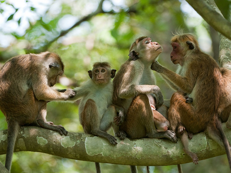 Meet the monkeys of Polonnaruwa - Experiences in Polonnaruwa - Polonnaruwa Monkey Camp - Monkey Camp Polonnaruwa